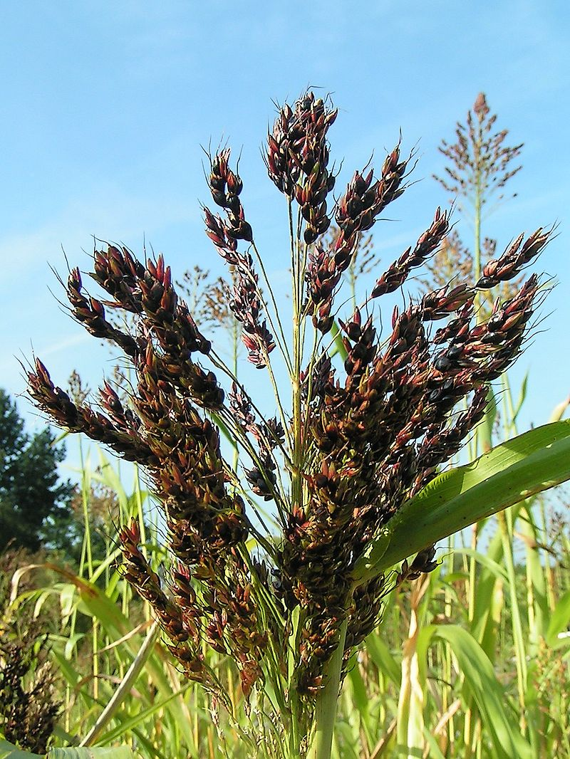 Broom Corn Sorghum Seeds 971